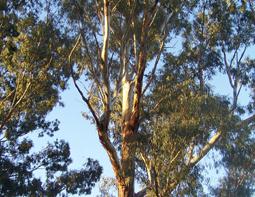 पेड़ों में छिपे सोने के छोटे-छोटे कणों का पता चला